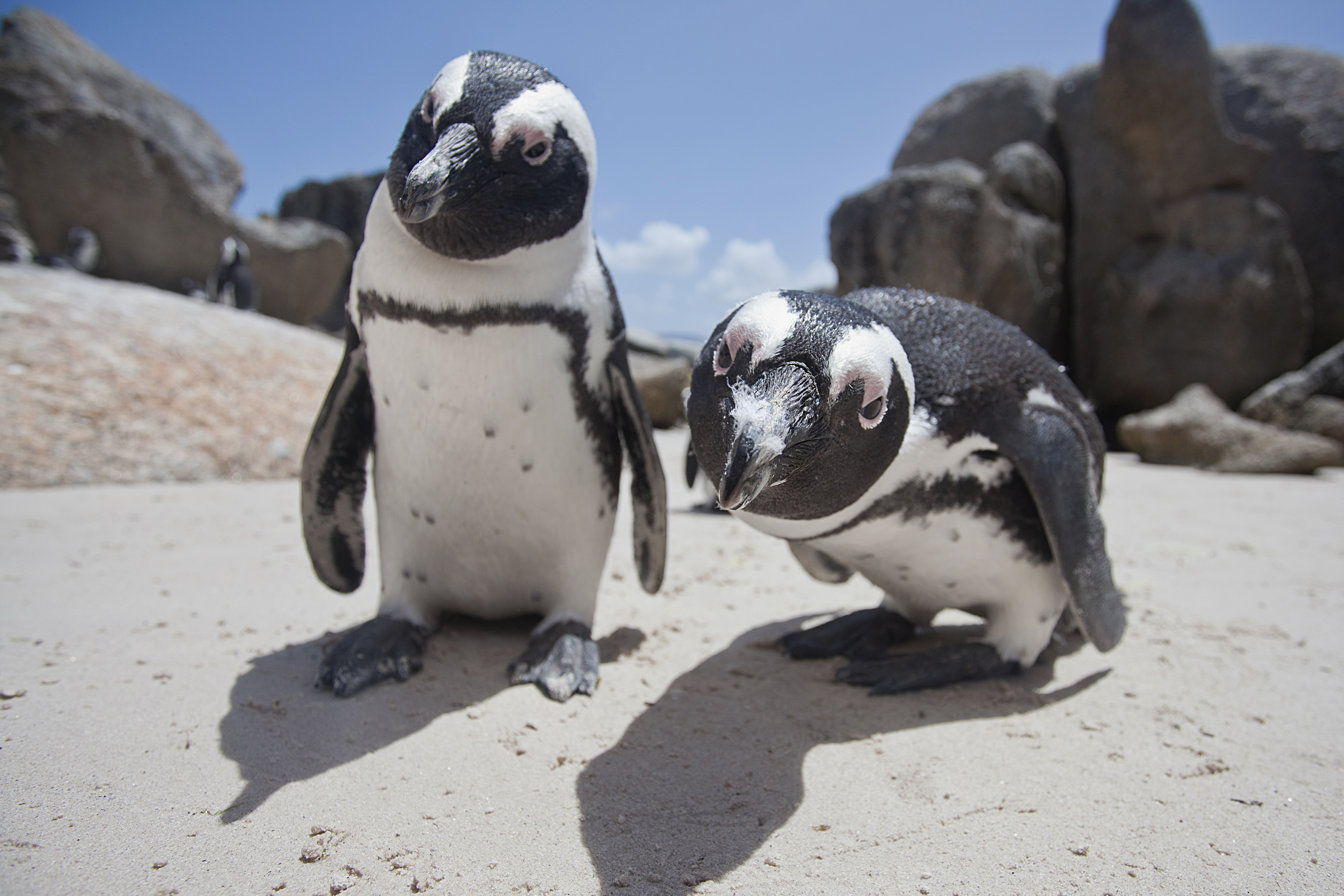 2 penguins look directly at the camera