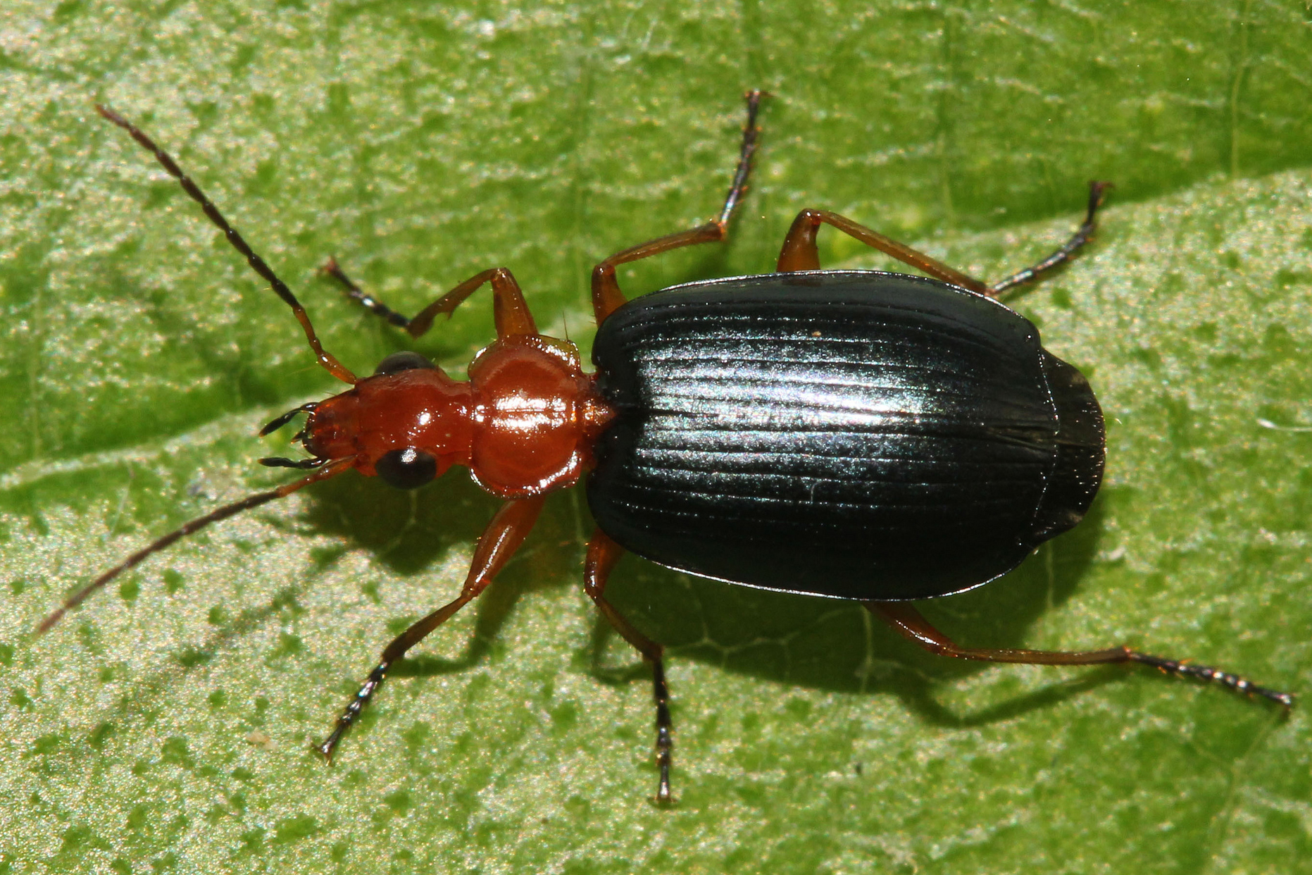 Bombardier Beetle on leaf