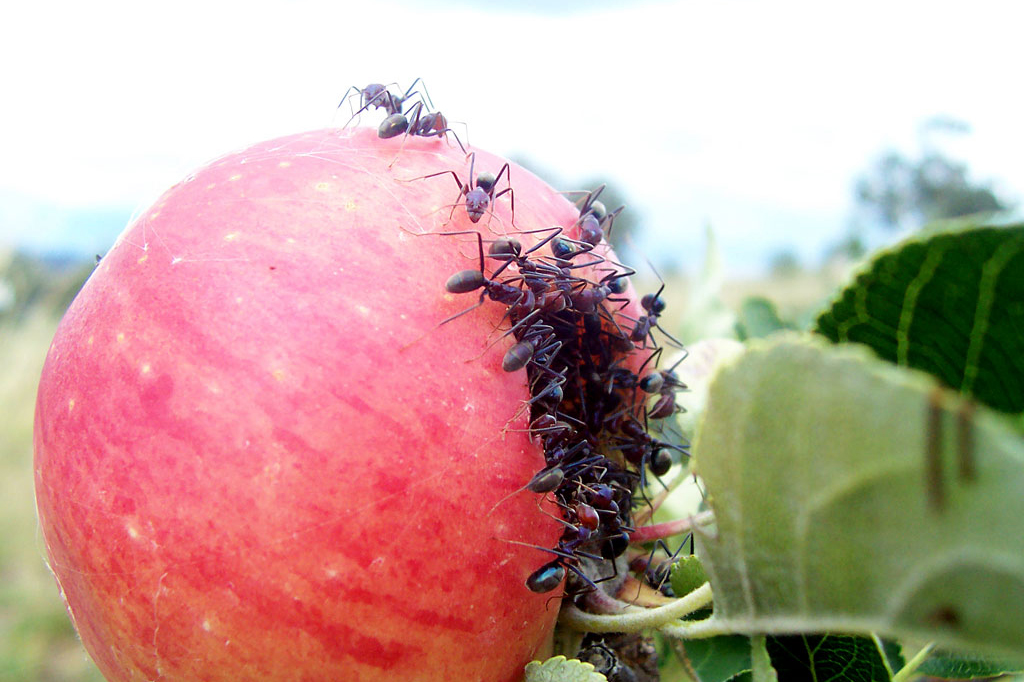An alarming number of ants devour an apple