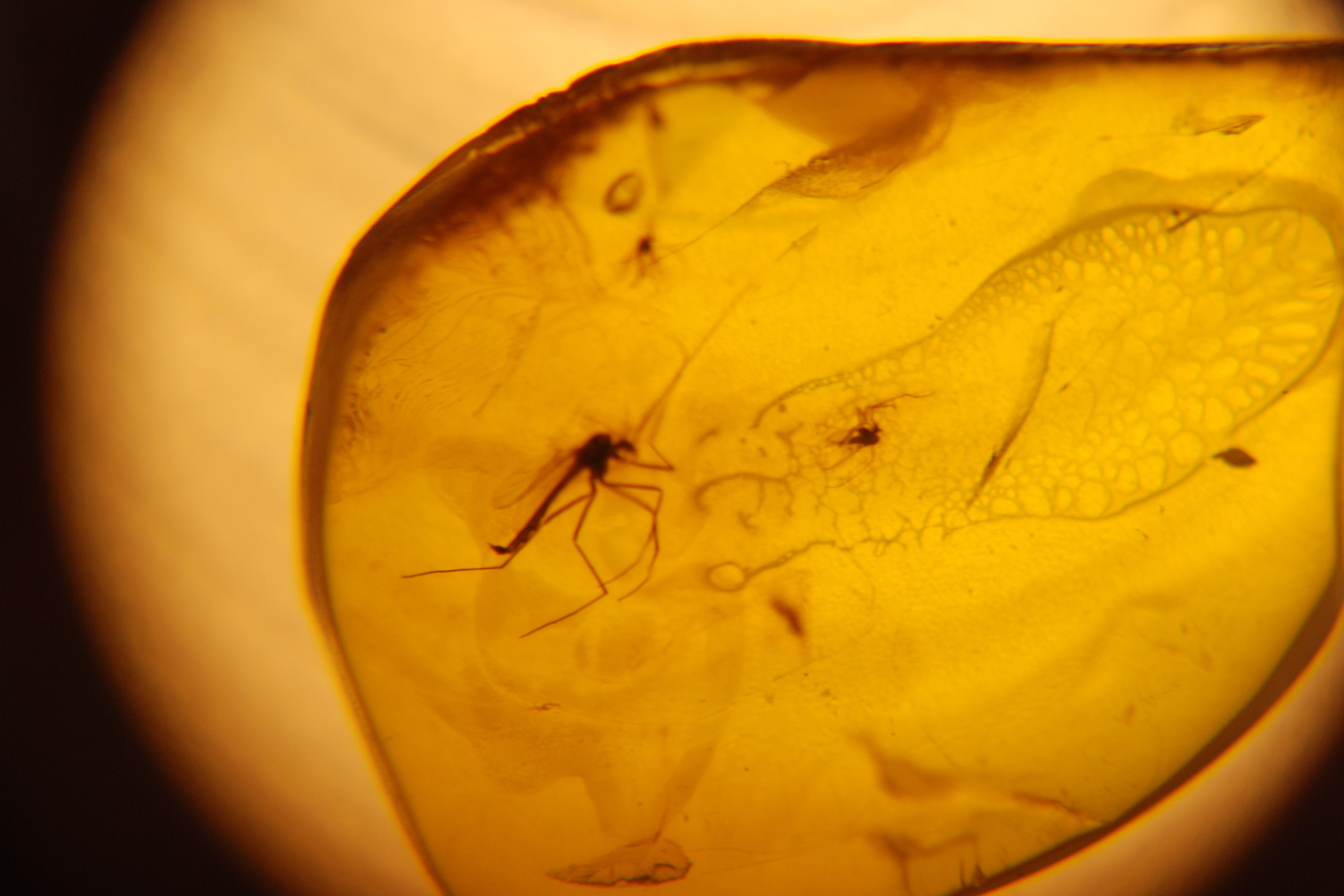 A mosquito fossilized in Amber