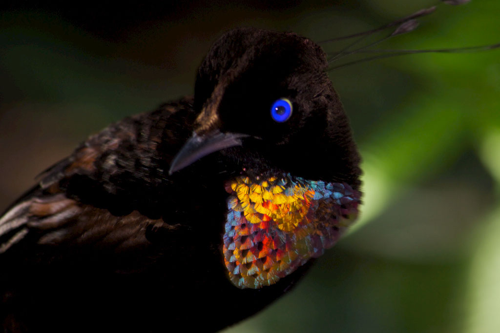 A bird-of-paradise. Mostly black, but near its neck it is iridescent: red, yellow, green, blue.