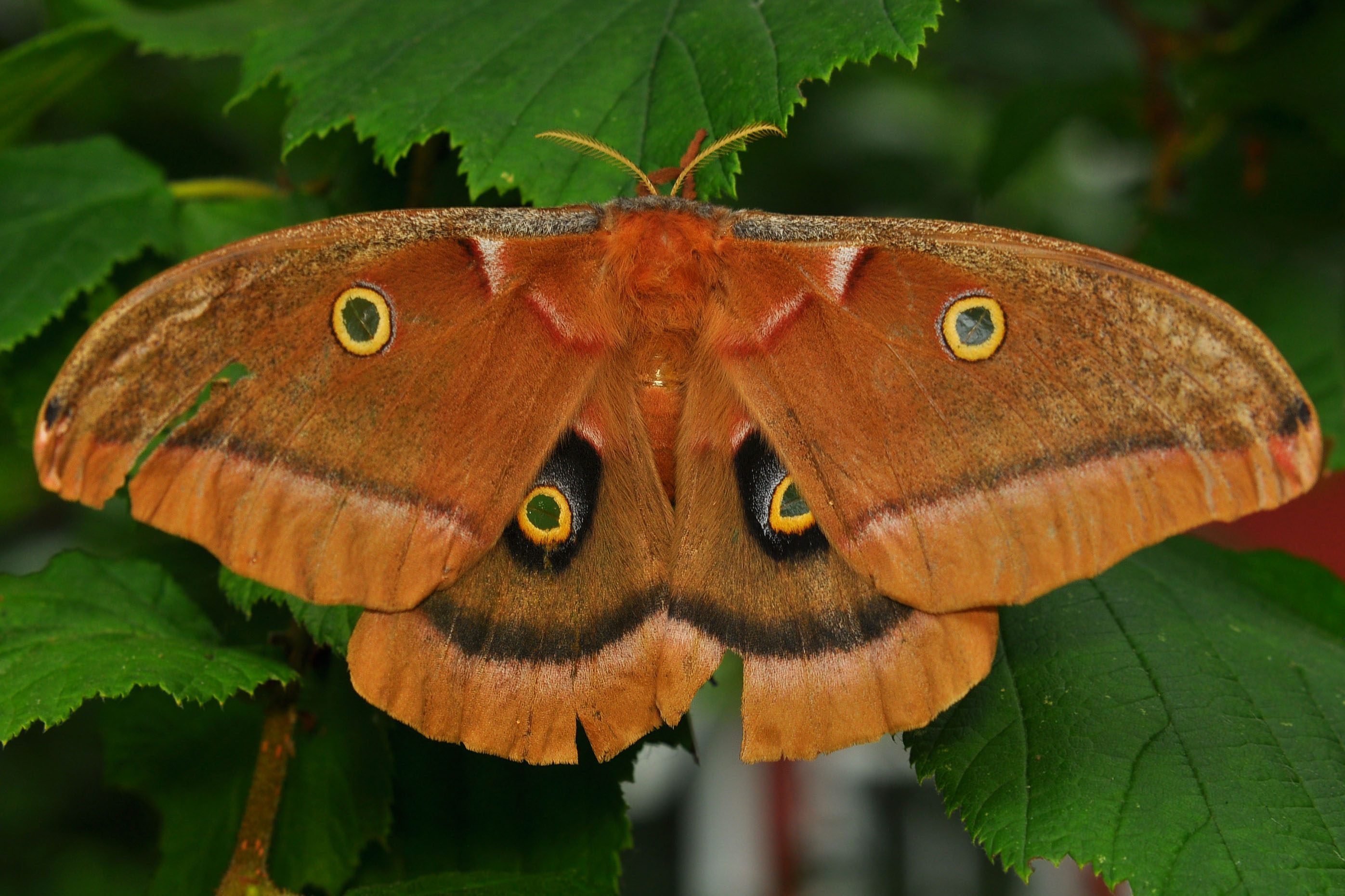 A large polyphemus moth (orange in color) sits on bright green leaves.