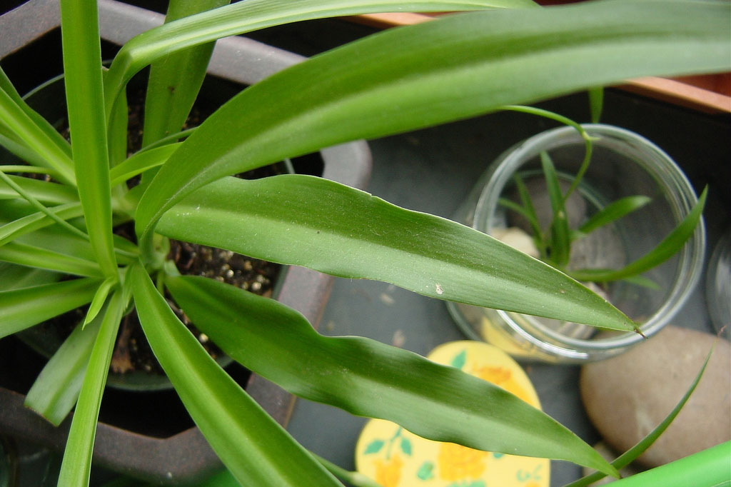 On the left side of the screen, a large spider plant. The camera angle is as if someone is looking directly down at the long, green leaves. Next to it is a jar with a much smaller version of the plant growing.