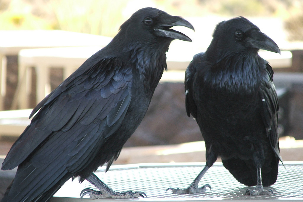 Two large crows stand near each other while on an outdoor table.