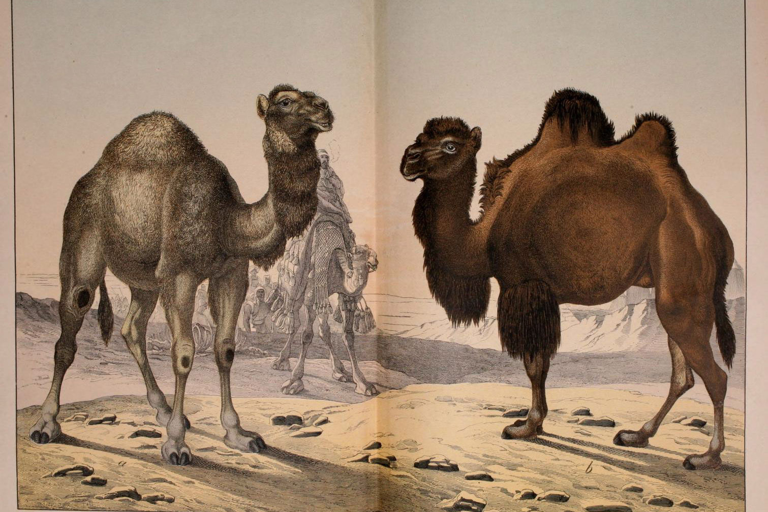 Camels | A Moment of Science - Indiana Public Media