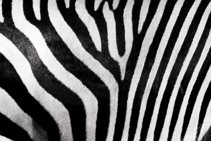 A close-up of a zebra's black and white stripes. The picture also appears to have been taken with black and white film or put beneath a black and white filter.