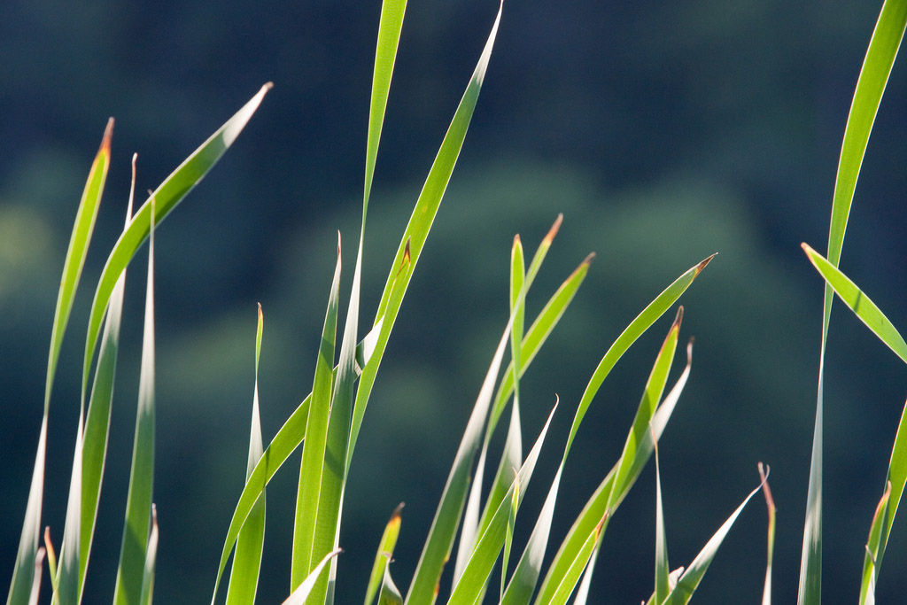 A macro shot of the tops of blades of grass. They're bright green. The background is blue-green and out of focus.