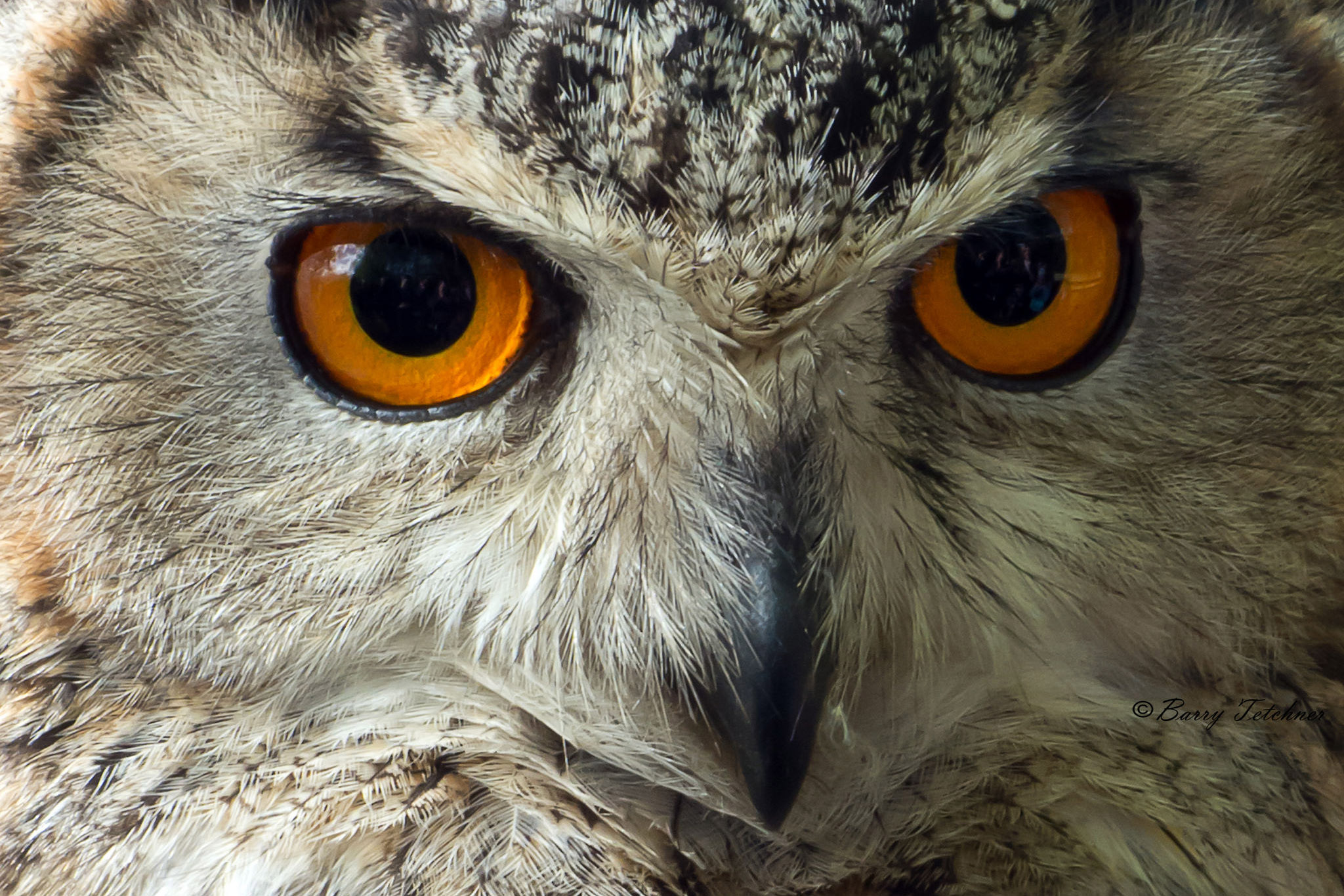 A close up on an eagle owl's face.