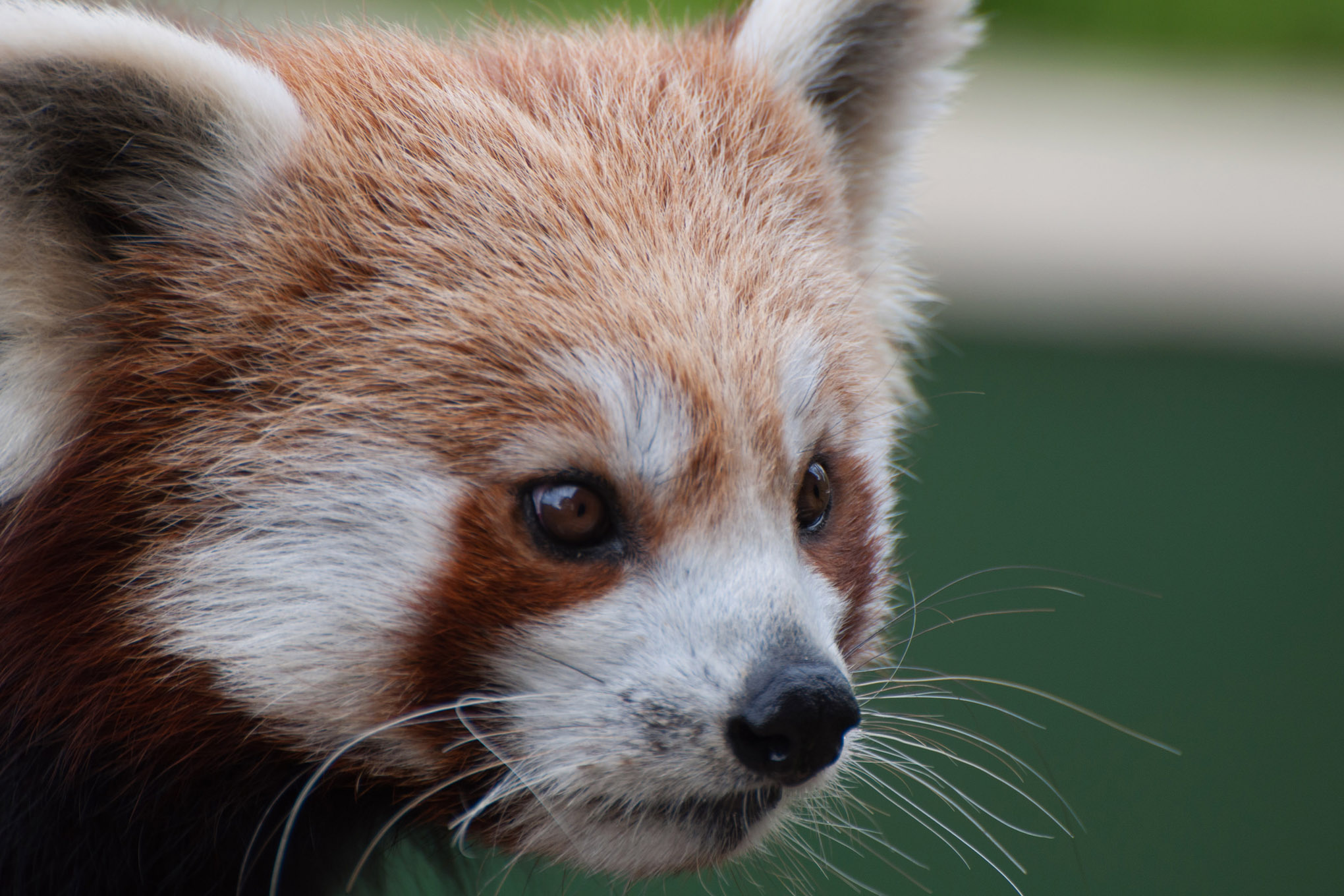 A close up image of a Red Panda's face. It shows the different textured fur on its face, as well as its whiskers.