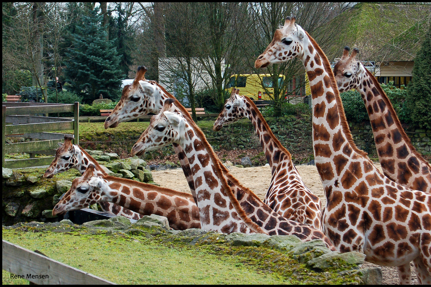 Seven giraffes facing to the right