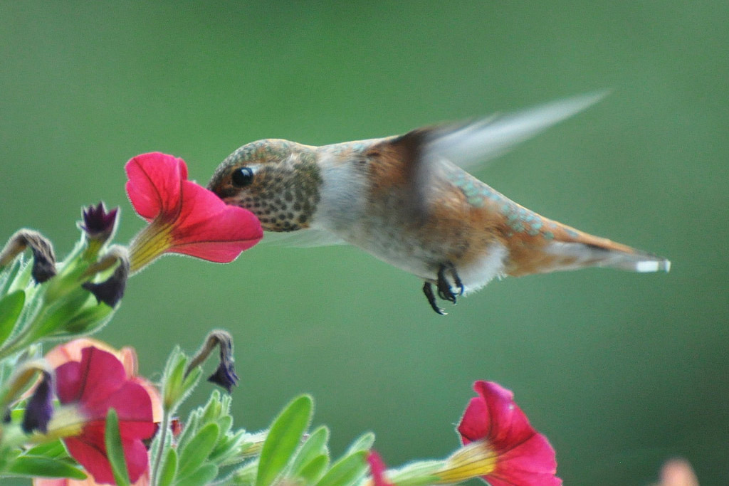 A female Rufous Hummingbird with its beak inside a bright pink flower. The photo has captured a moment where the bird looks completely still, except for its blurred wings.