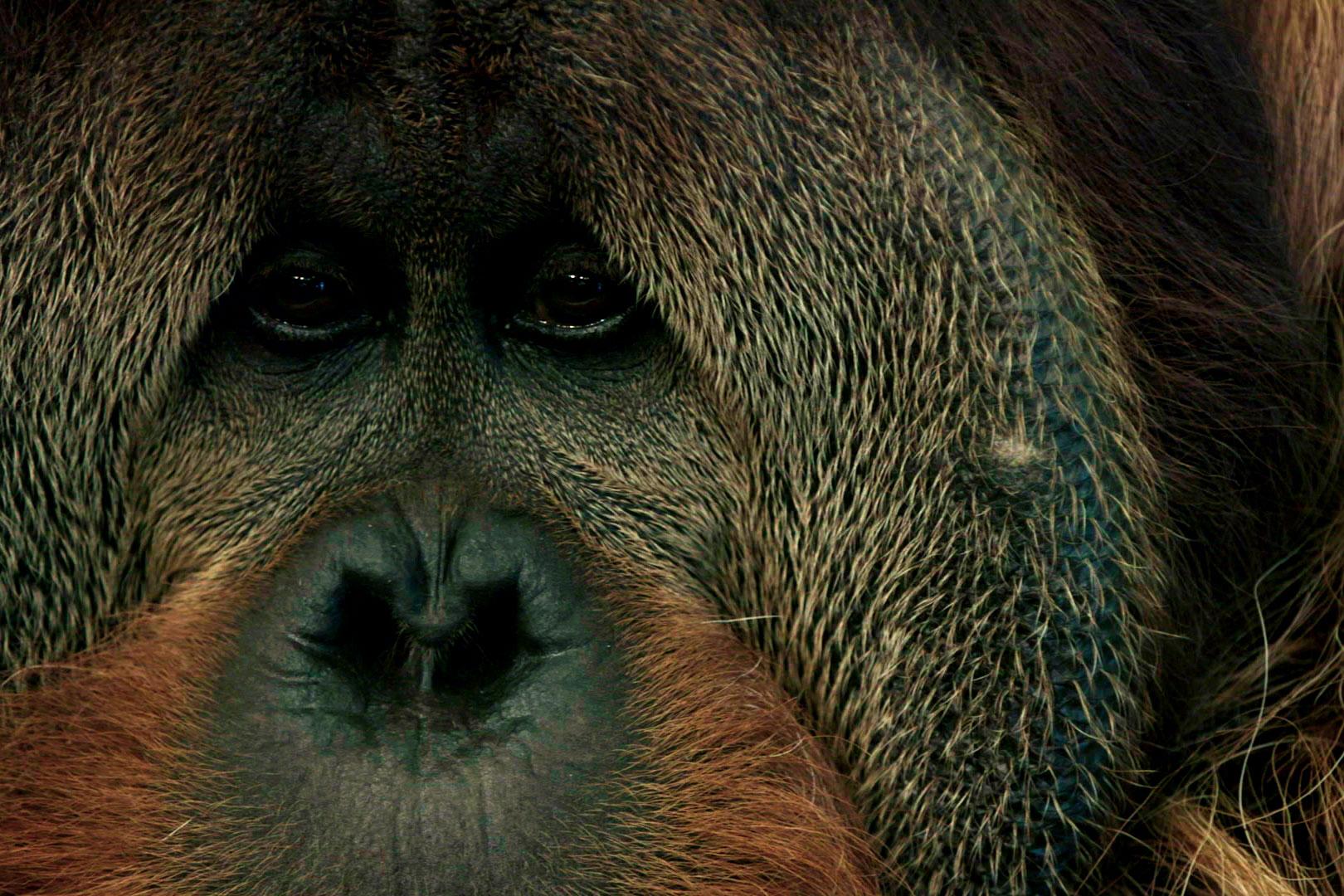 Close-up shot of an orangutan