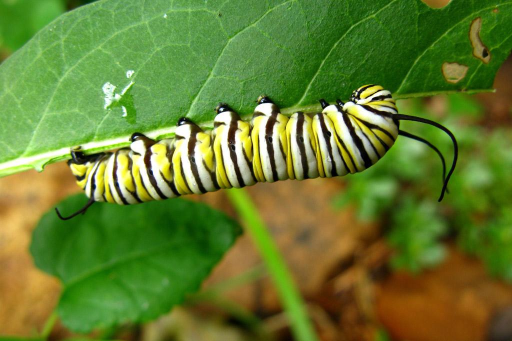 A monarch caterpillar (yellow, white, and black striped) is perched upside down on a bright green leaf.