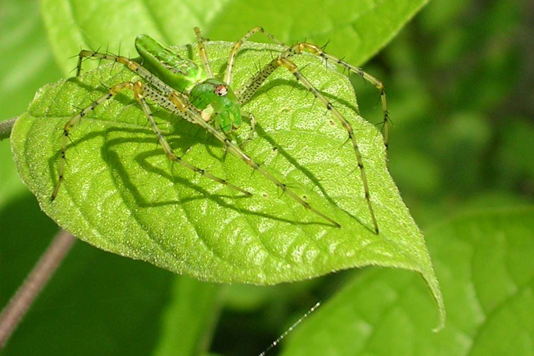 A green spider on a matching green leaf