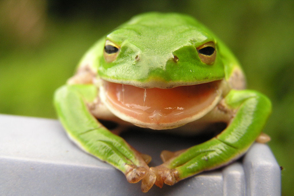 A close-up image on a frog. The frog is bright green. Its mouth is open and bright pink.