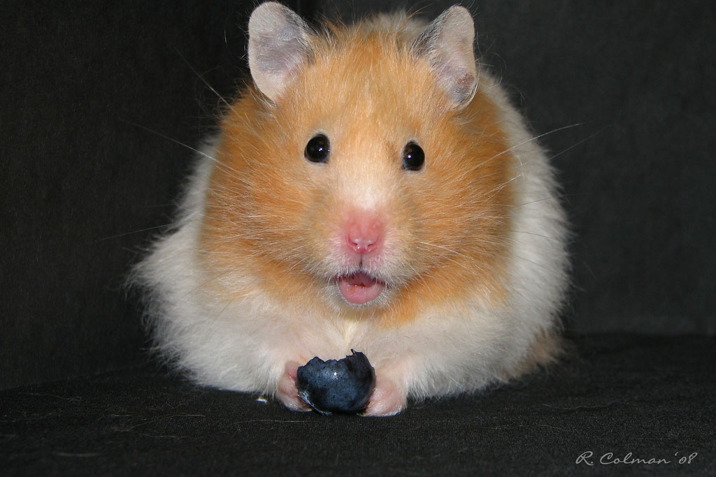The Cannibal Hamsters Of Northeastern France A Moment Of Science Indiana Public Media