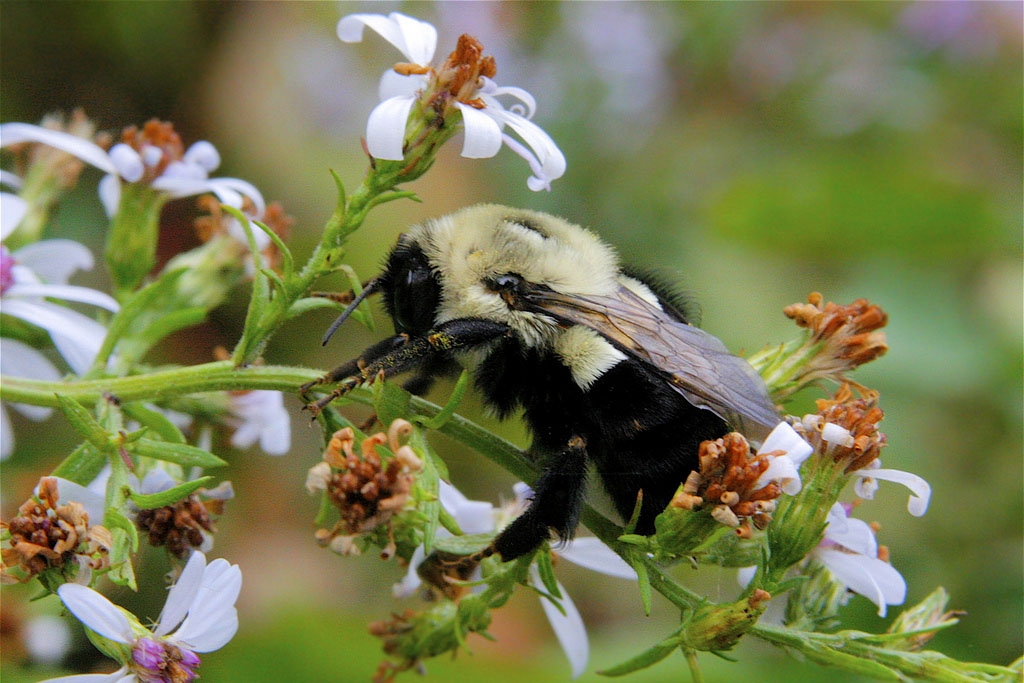 a bumble bee on a cluster of flowers