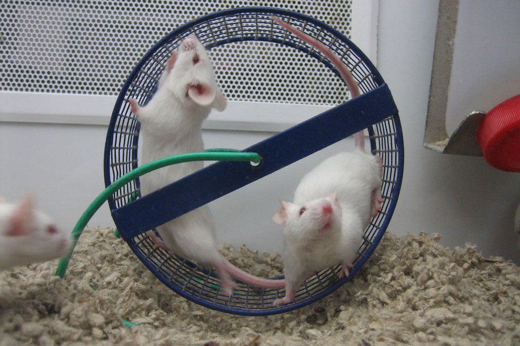 three mice: two in a running wheel, one with only head visible on the left