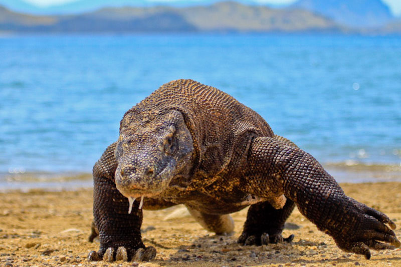 A Komodo Dragon