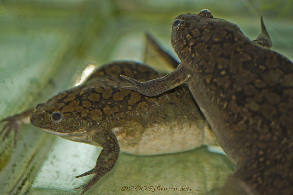 two african clawed foot frogs