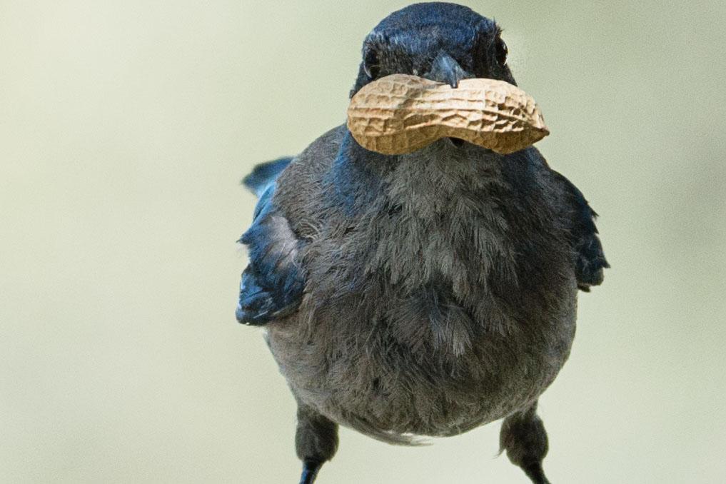a scrub jay with a peanut in its beak