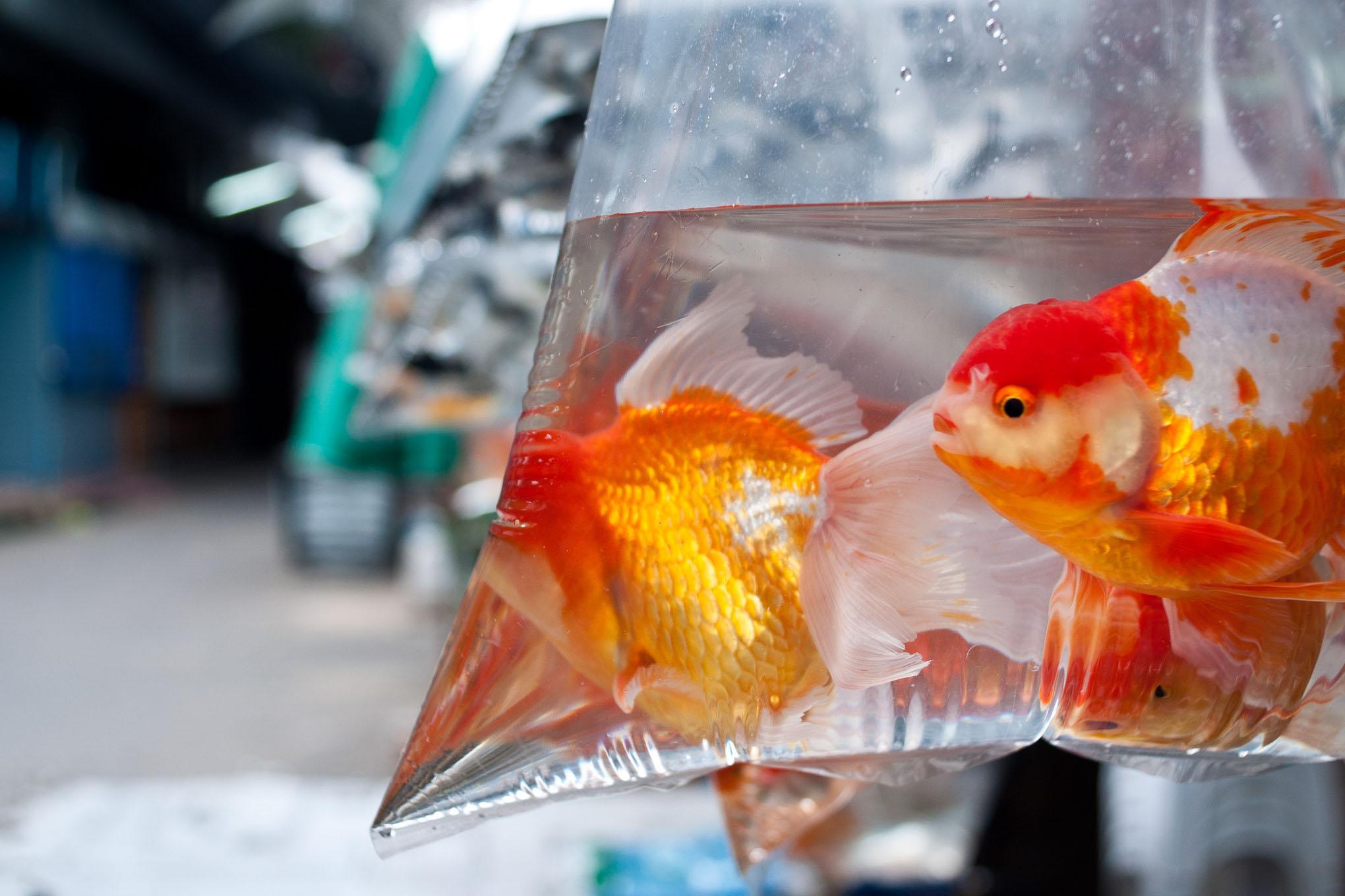 goldfish in a plastic bag