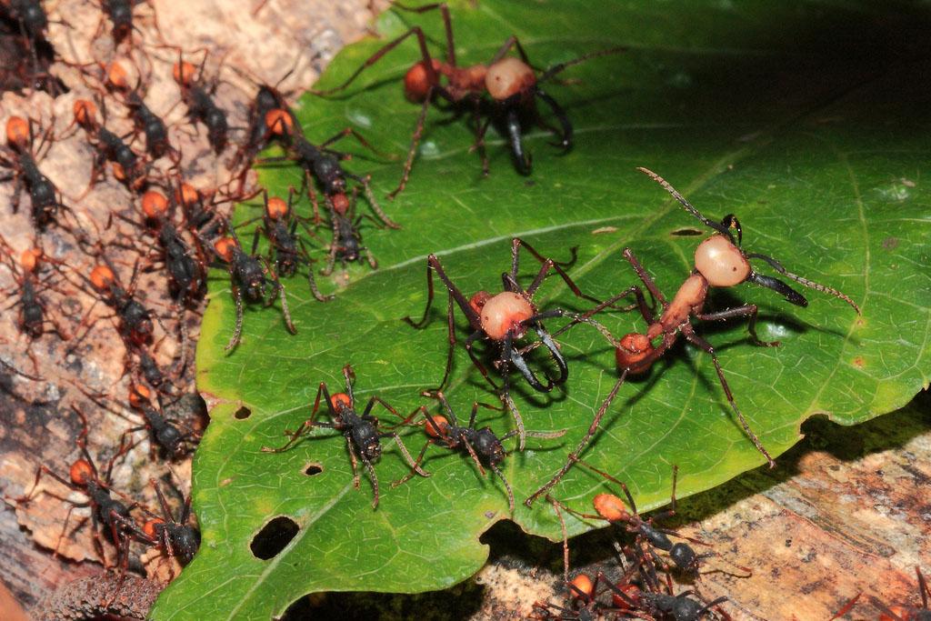 army ants on a green leaf