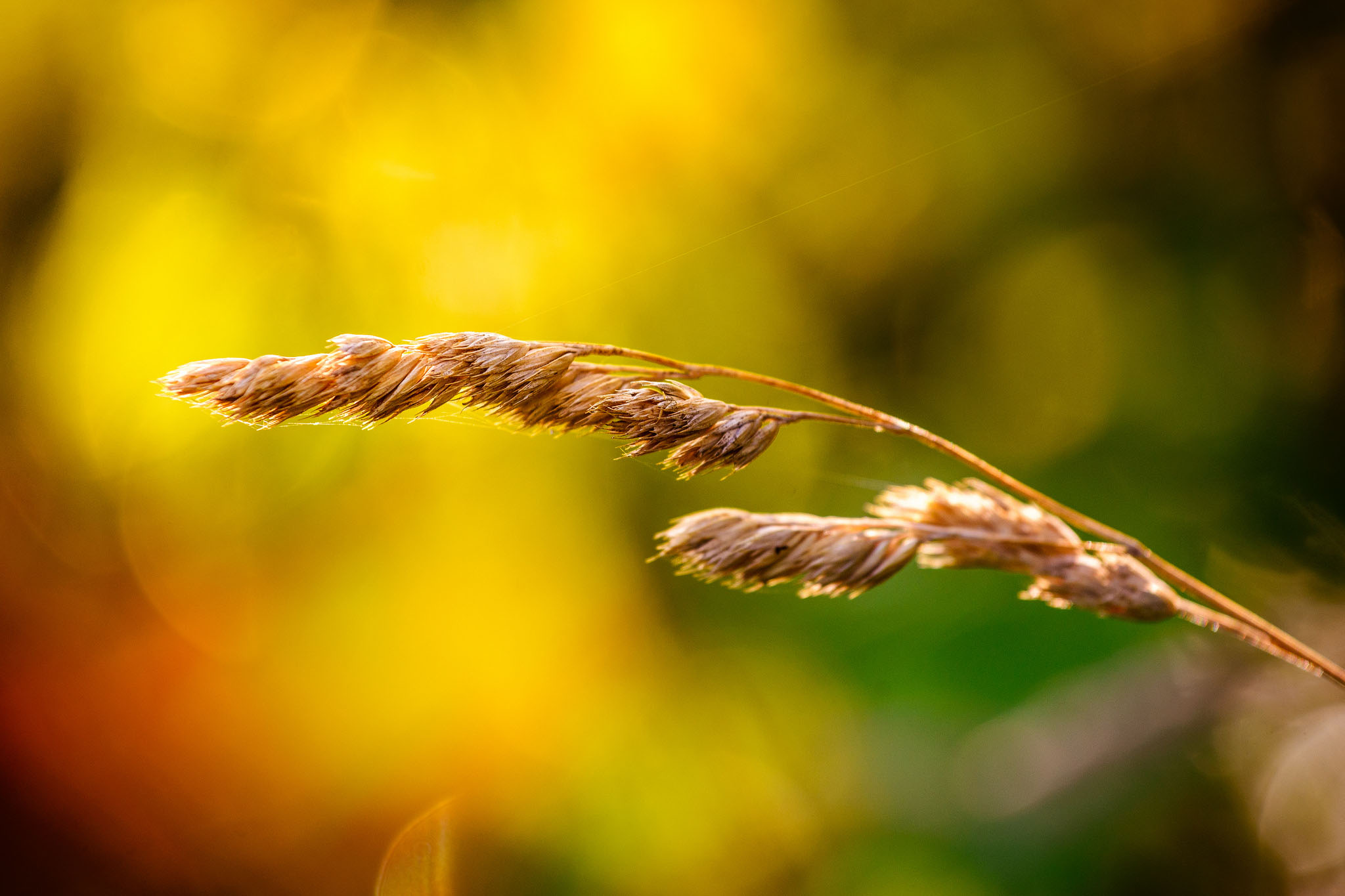 a close up image of wheat, out of focus background