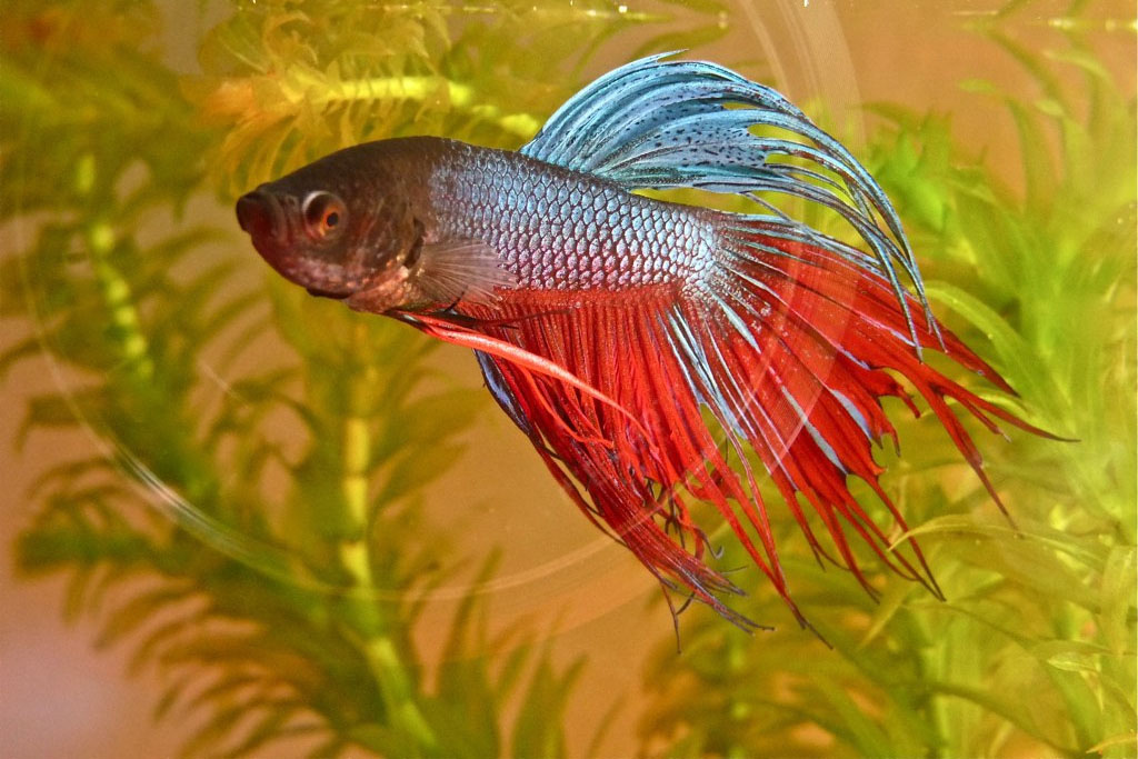a red and blue betta fish