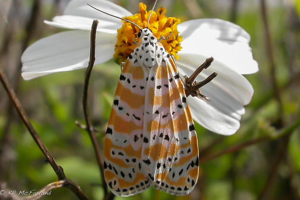 a rattlebox moth on a flower