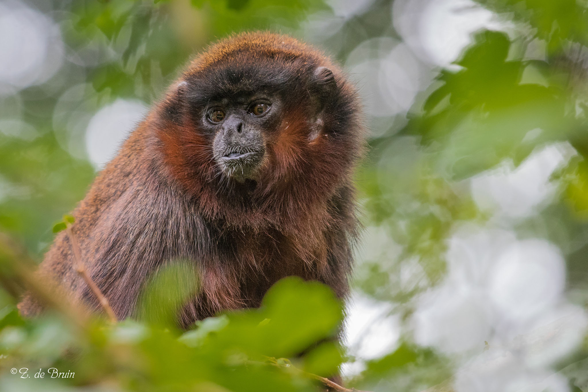 Scientists used coppery titi monkeys as test subjects in their experiments about the neurobiology of jealousy. Photo by Zweer de Bruin (Flickr)