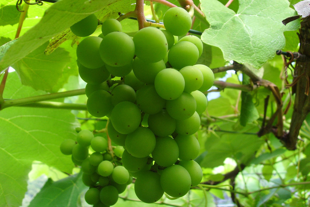 Grapes are a great source of fiber. (John Kacanagh, Flickr)