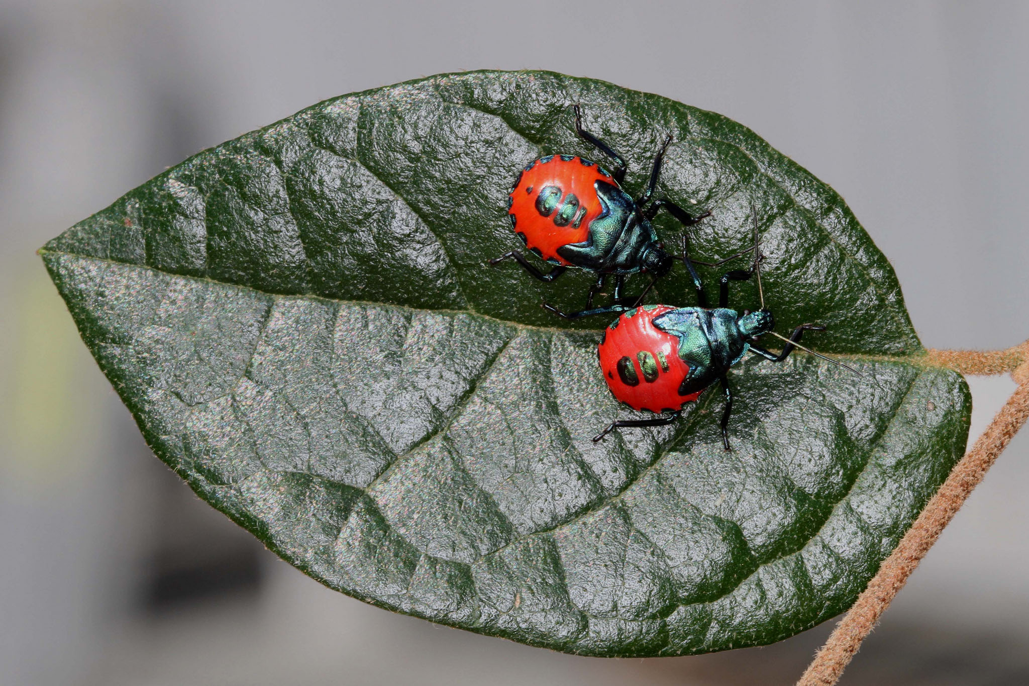 Two stink bug nymphs. Stink bugs terrible smell are a way for them to discourage predators from eating them.
