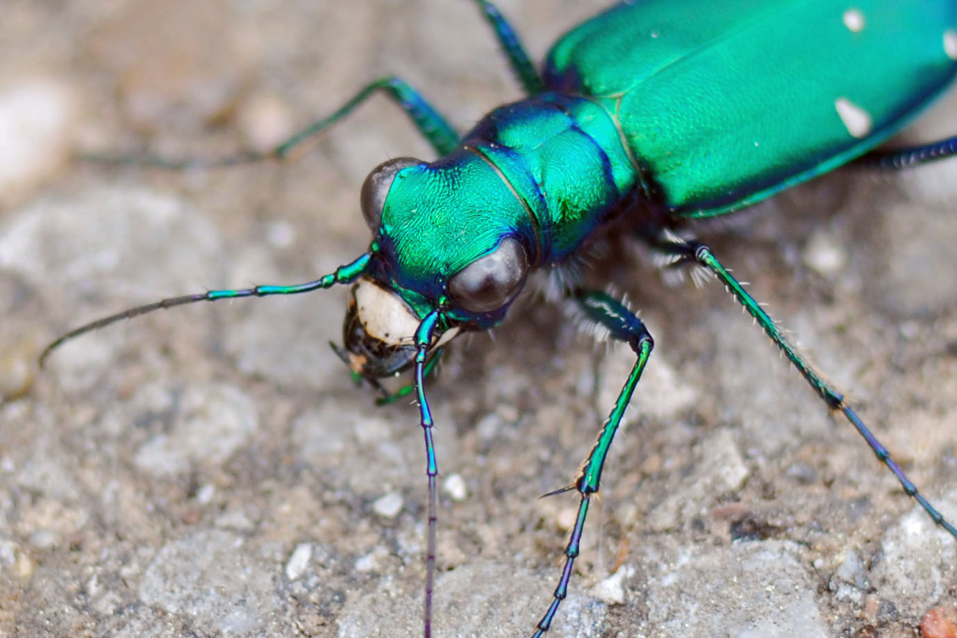 A six-spotted tiger beetle. It's scientific name is Cicindela sexguttata. (Melody McClure, Flickr)