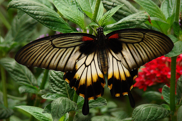 Great Mormon butterflies like the one above have been frequently studied under the lens of Batesian Mimicry. By looking like a type of butterfly that tastes terrible, these butterflies have thrived. (MJI Photography/ Mary J.I., Flickr)