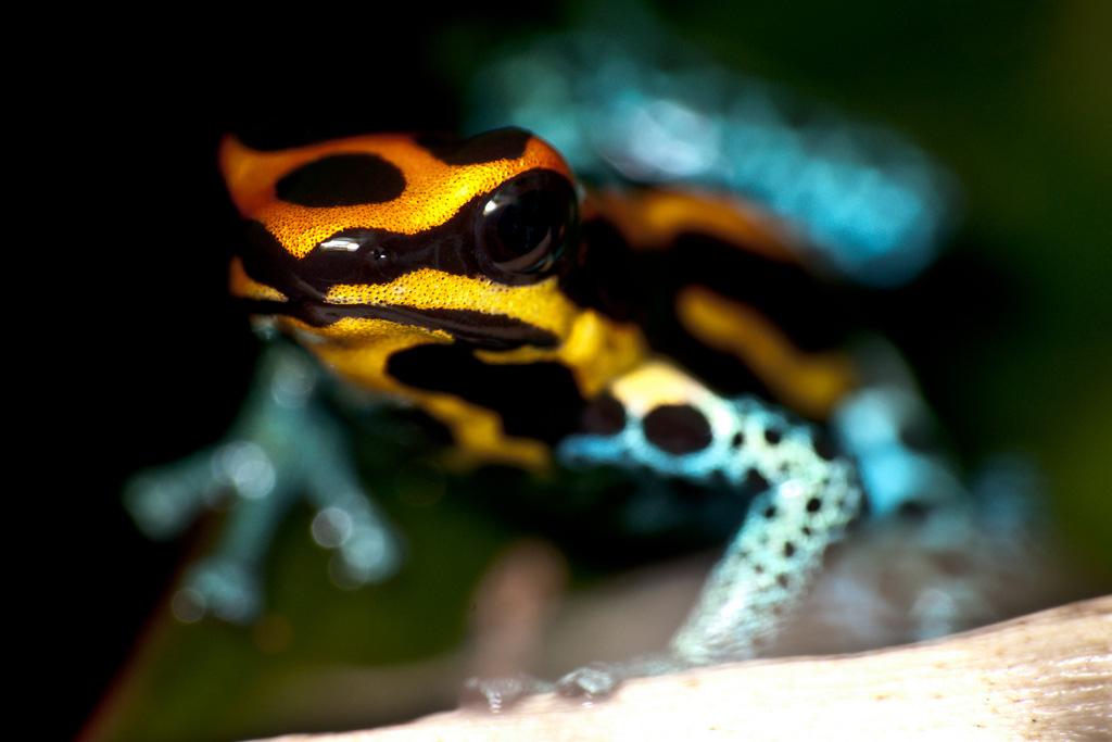 A poison dart frog. (Sascha Gebhardt, Flickr)
