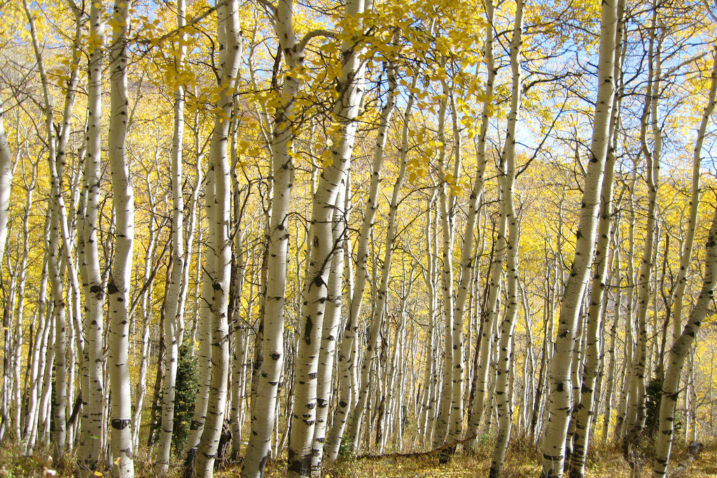 A stand of quaking aspen trees (scottks, Flickr)