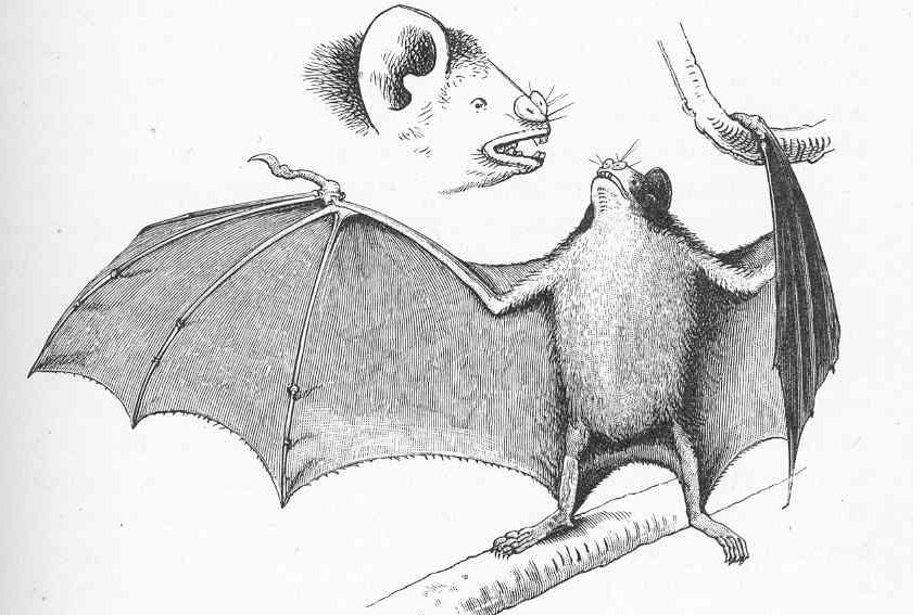 A drawing Charles Darwin made of a vampire bat. ( Darwin, Charles (1890) Journal of Researches Into the Natural History and Geology of the Countries Visited During the Voyage Round the World of H. M. S. 'Beagle' Under the Command of Captain Fitz Roy, New York City, NY: D. Appleton and Company )