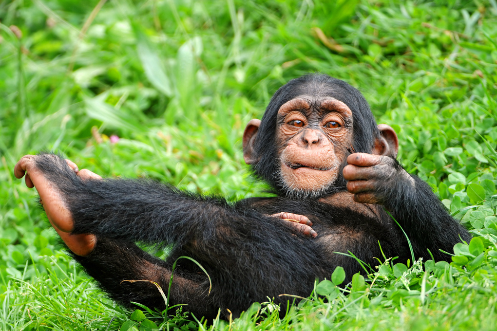 A young male chimpanzee. (Tambako The Jaguar, Flickr)