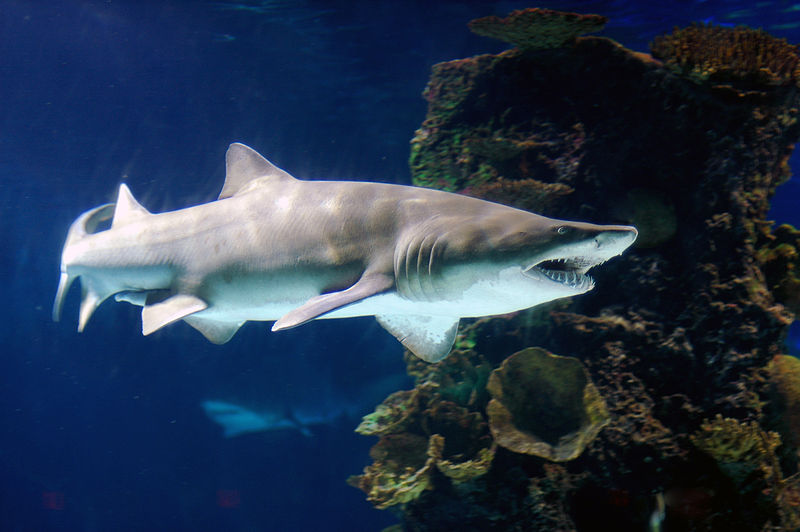 Female sand tiger sharks produce hundreds of eggs, and then mate with multiple males.