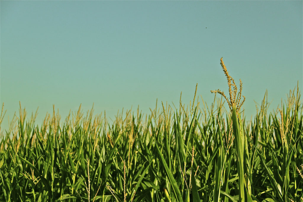 Thanks to climate change, cornfields like this could be a relic of the past. (it is elisa, flickr)