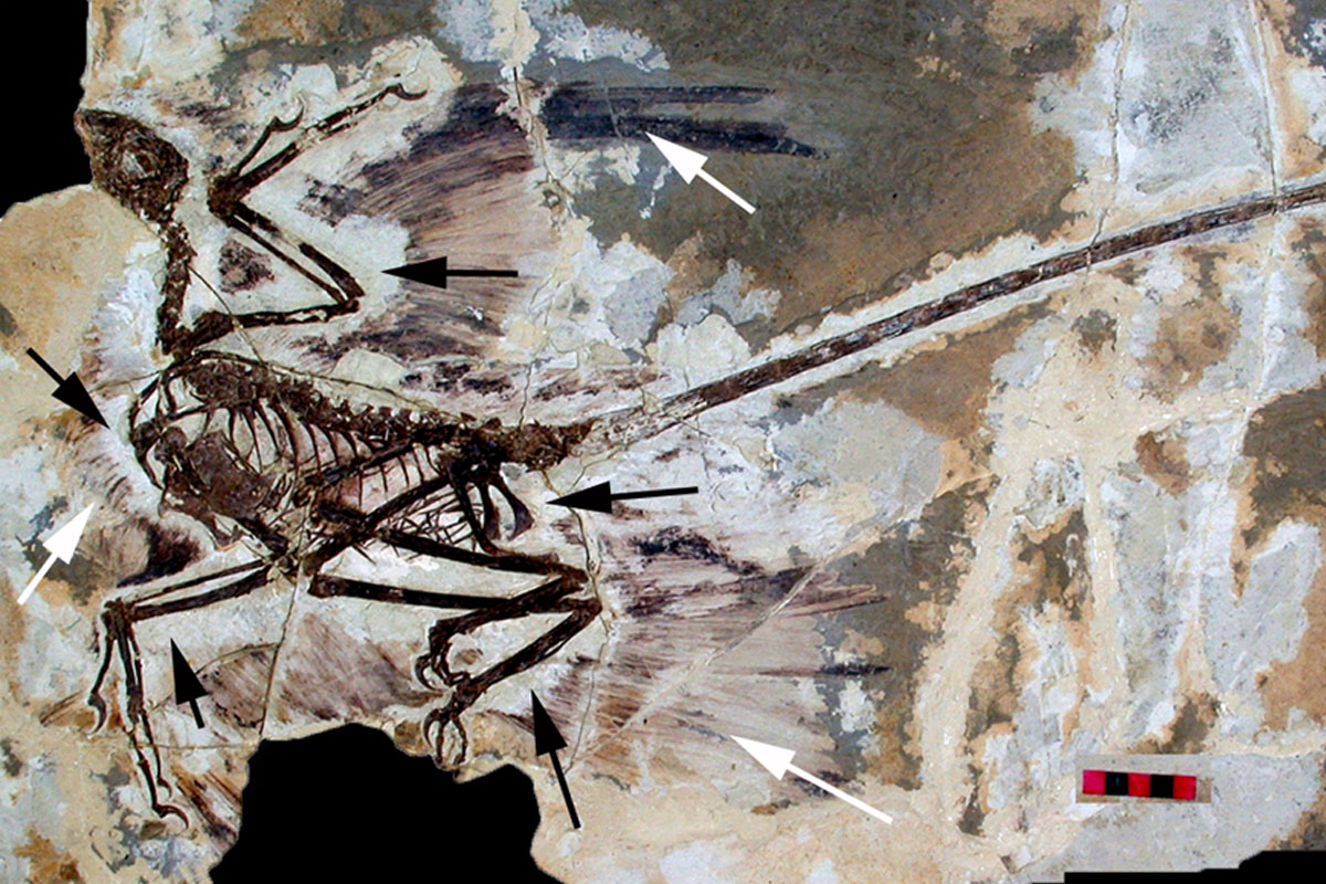 There is a growing body of evidence showing that dinosaurs did have feathers.