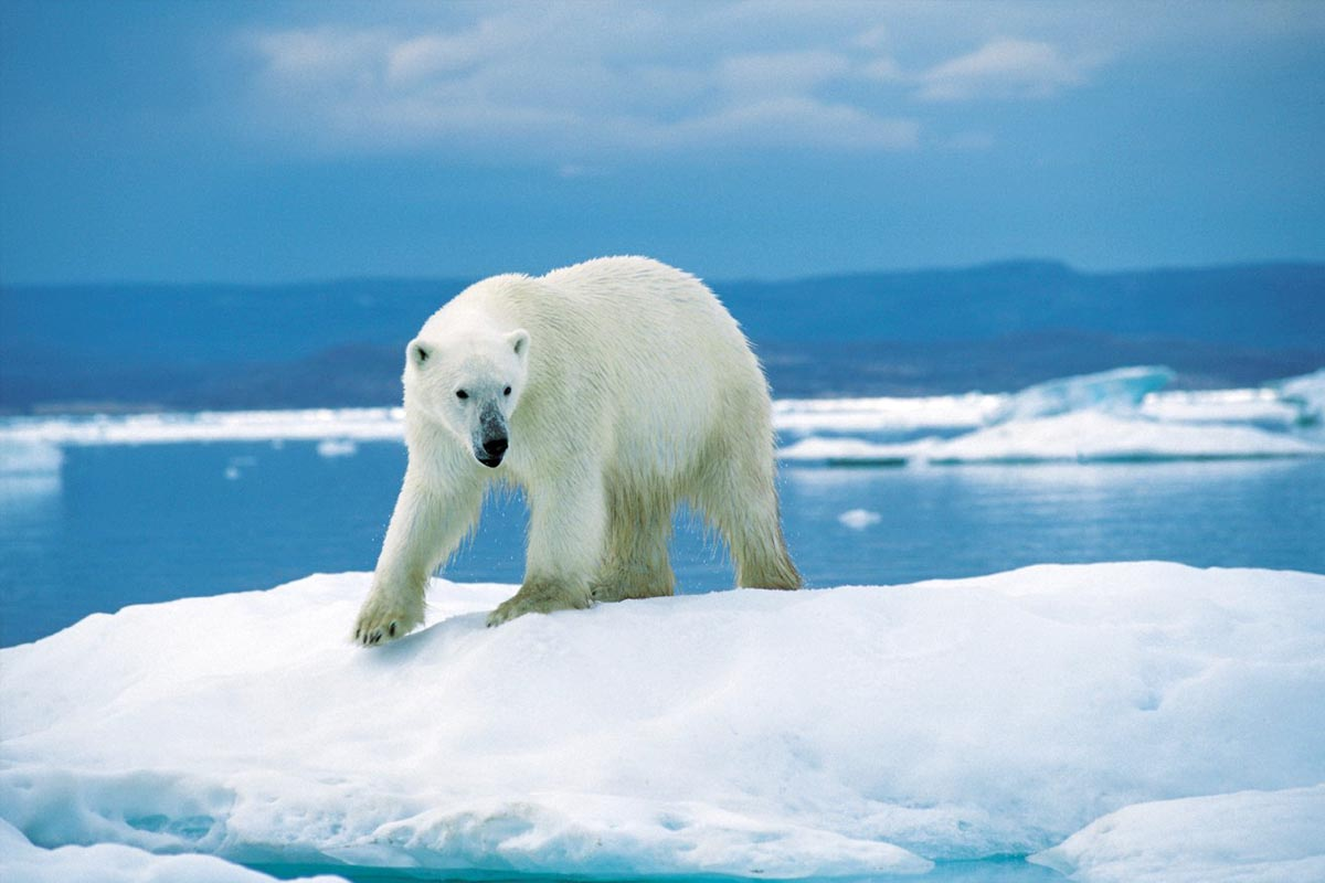 Polar bears exploit the very particular niche of hunting seals in the arctic.