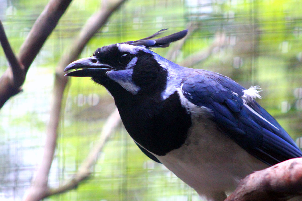 Magpies behave very differently depending on how early or late they hatch.