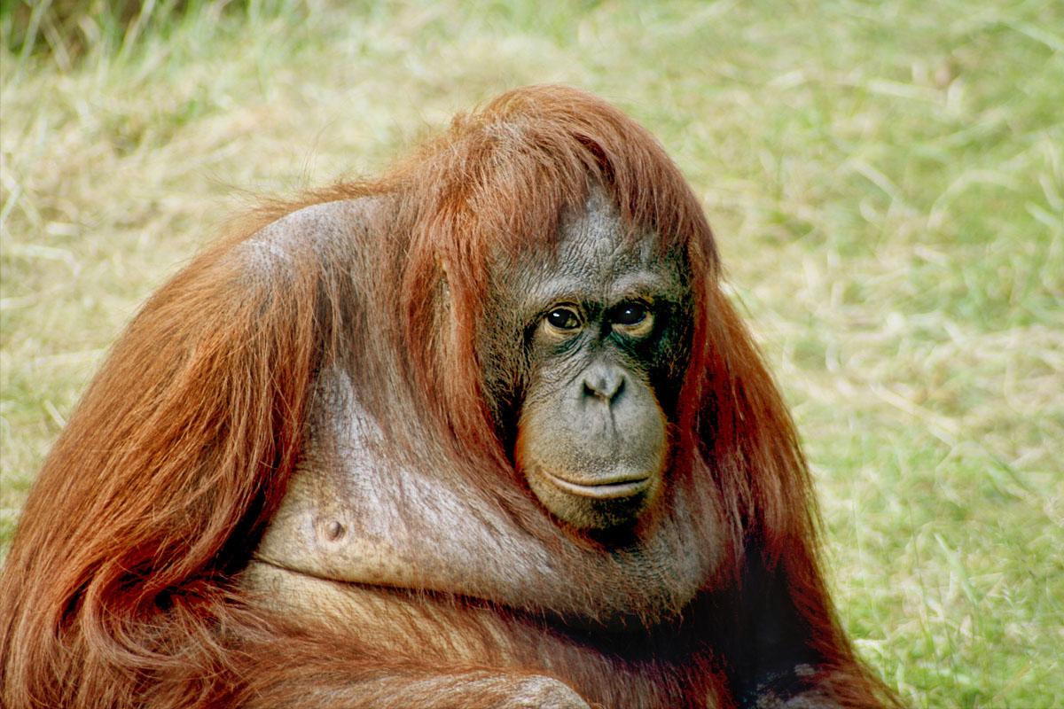 Orangutans can communicate about past events.