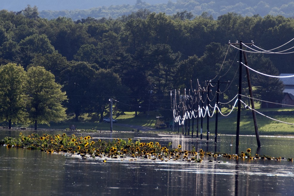 A large patch of sunflowers is half-submerged in a large expanse of floodwater.  Power lines travel away from the camera on the right side of the screen, also submerged in many feet of water, with the power lines glistening.  Large trees in the background.