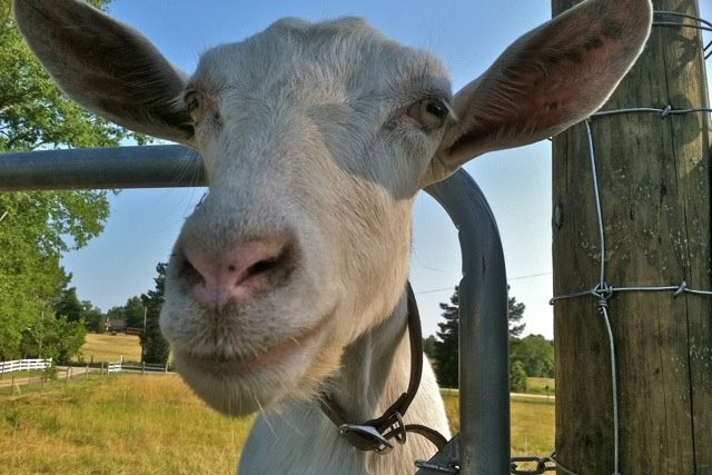 Close up on the face of a white goat in a pasture poking his head through a metal gate.