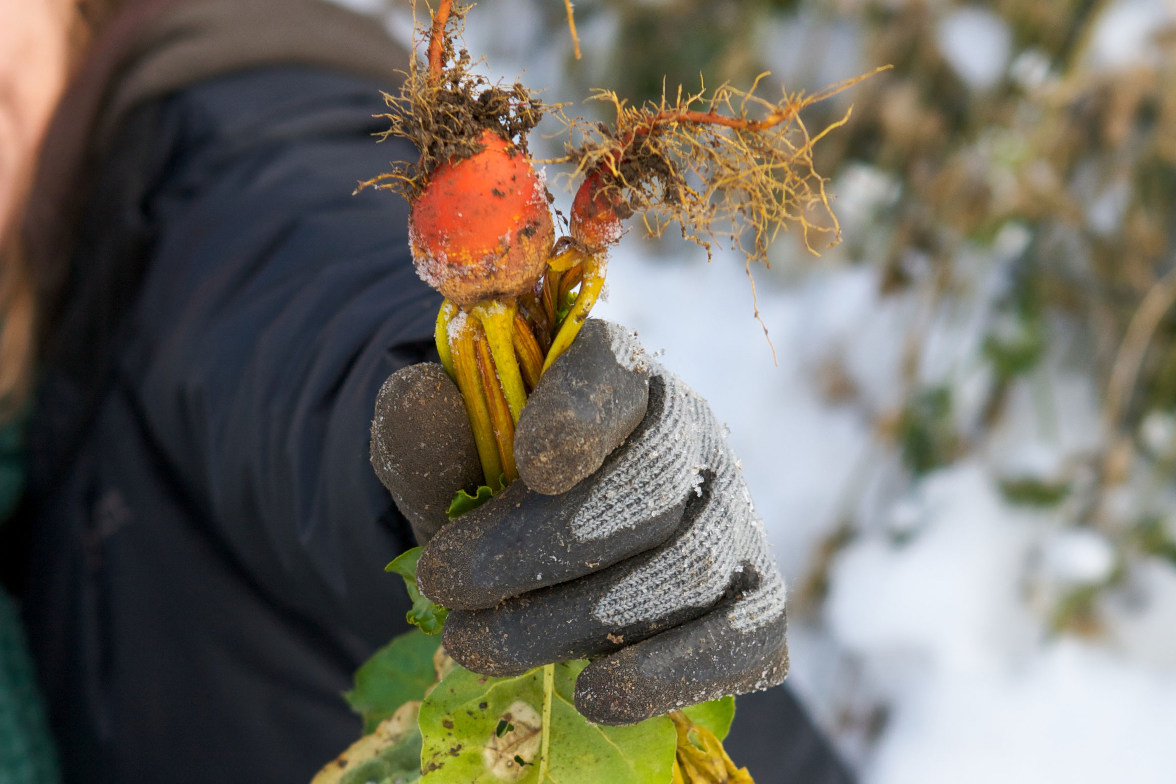 gardener holding beets pulled from her garden in the winter