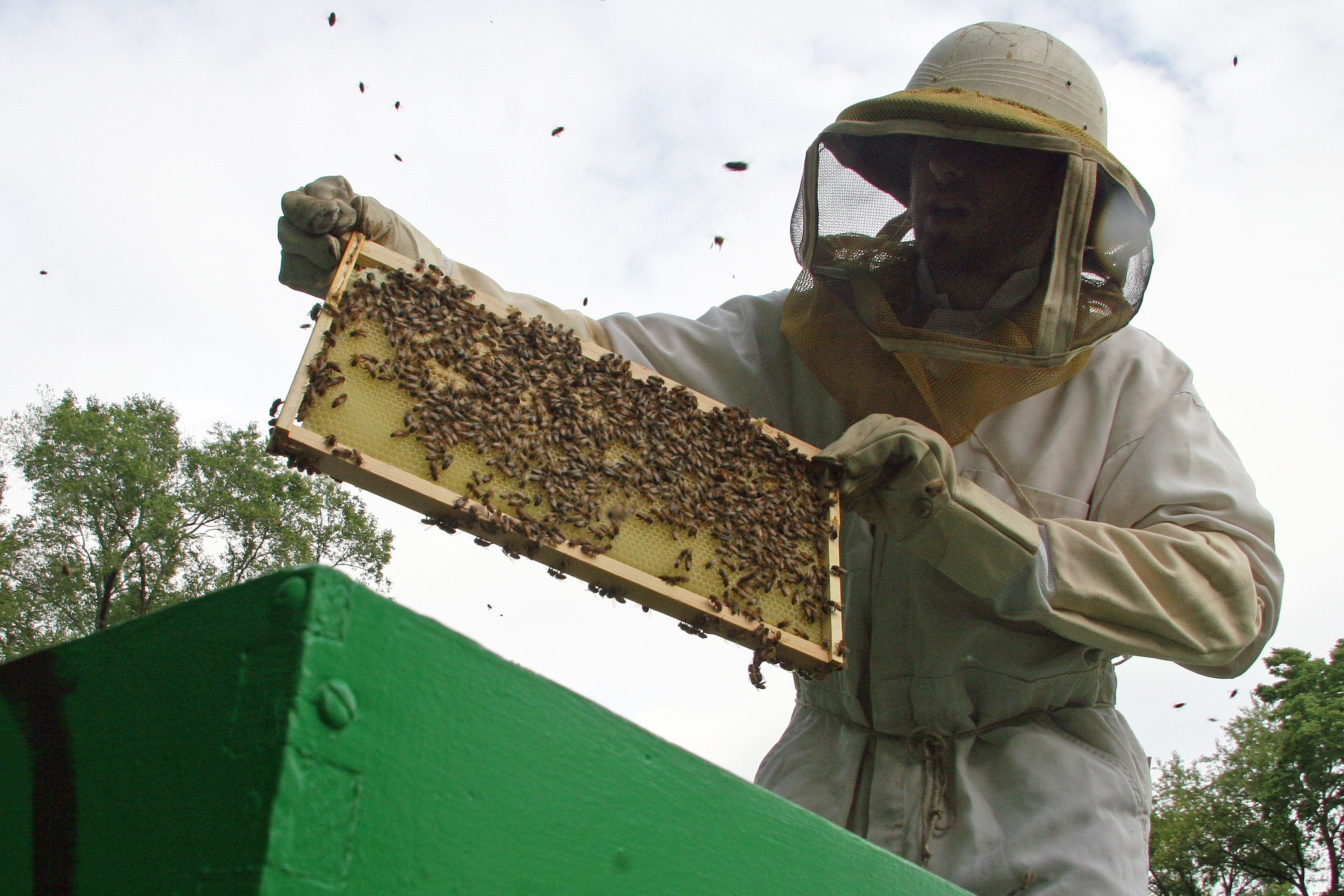 beekeeper pulling frame from the hive