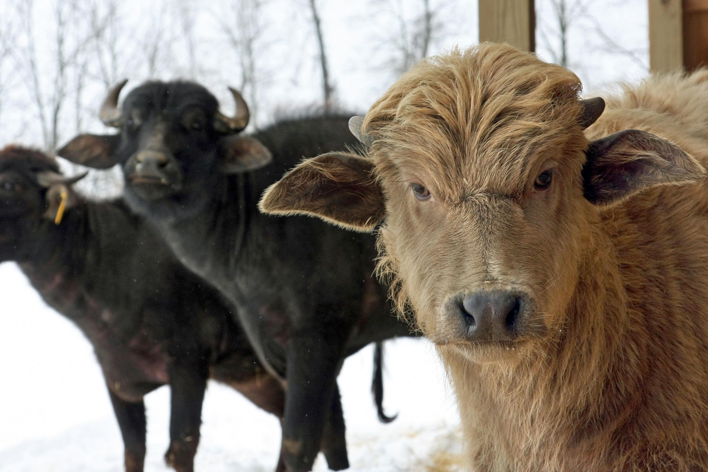 three water buffalos